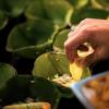cumbuquinhas de folha da bananeira